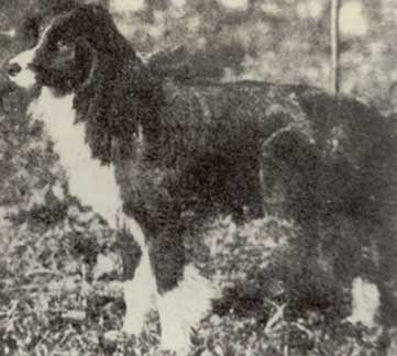 Sweep nipote di Old Hemp foto Blue Riband of the Heather Border Collie Museum