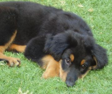 piccoli hovawart crescono al Barking Dogs Centro Cinofilo Roma Sud