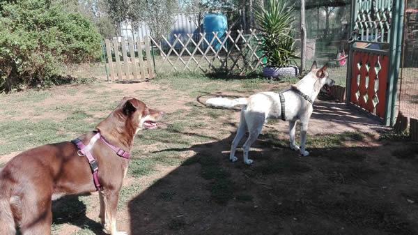 Baloo cagnolina diffidente al centro cinofilo roma sud barking dogs