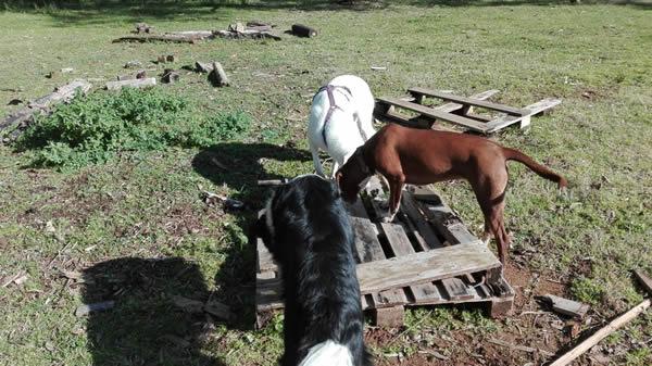 yuki e mia due cagnolone che frequentano il Barking Dogs, Centro Cinofilo a Roma Sud