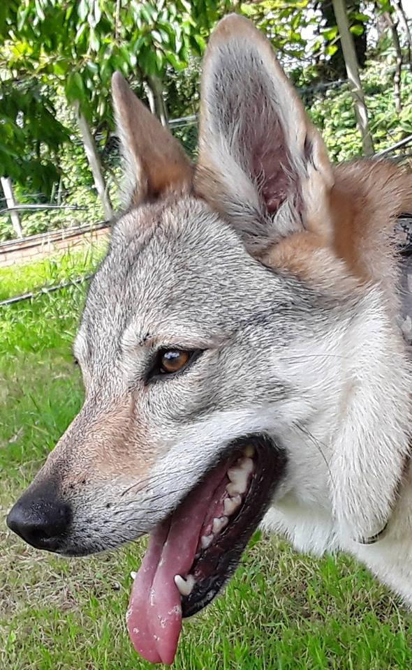 Elanor cane lupo cecoslovacco educazione cinofila roma sud
